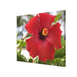 USA, Hawaii, Oahu. The Hibiscus is the Canvas Prints