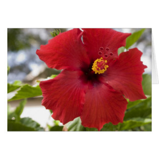 USA, Hawaii, Oahu. The Hibiscus is the Greeting Cards