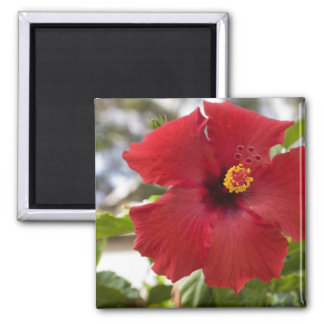 USA, Hawaii, Oahu. The Hibiscus is the Magnet