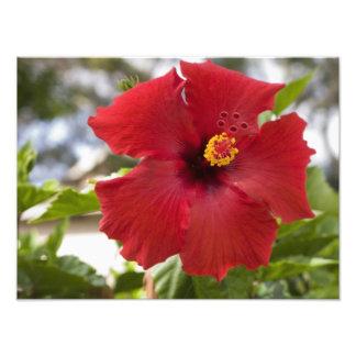 USA, Hawaii, Oahu. The Hibiscus is the Photo Print