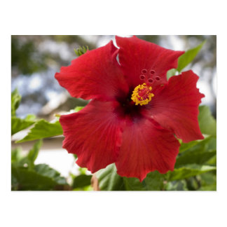 USA, Hawaii, Oahu. The Hibiscus is the Post Card