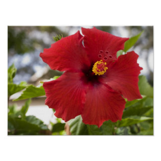 USA, Hawaii, Oahu. The Hibiscus is the Poster