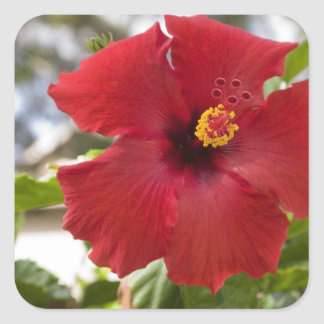 USA, Hawaii, Oahu. The Hibiscus is the Square Sticker