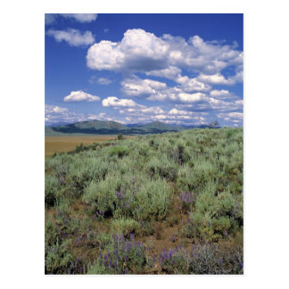 USA, Idaho, Camas Co. Sagebrush and lupine Postcard