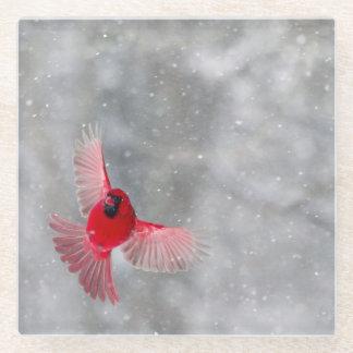 USA, Indiana, Indianapolis. A male cardinal Glass Coaster