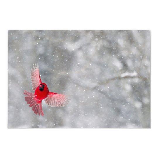 USA, Indiana, Indianapolis. A male cardinal Photo Print