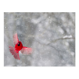 USA, Indiana, Indianapolis. A male cardinal Postcard
