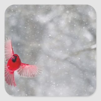 USA, Indiana, Indianapolis. A male cardinal Square Sticker