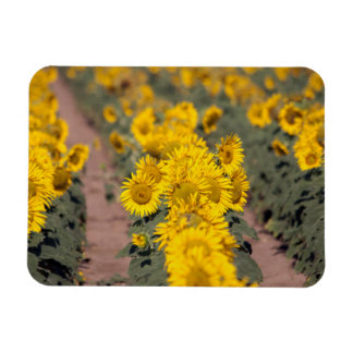 USA, Kansas. Sunflowers (Helianthus Annuus) Magnet