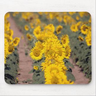 USA, Kansas. Sunflowers (Helianthus Annuus) Mouse Pad