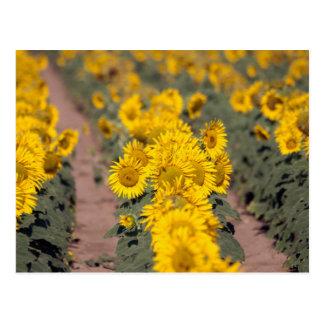 USA, Kansas. Sunflowers (Helianthus Annuus) Postcards