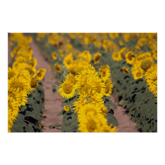 USA, Kansas. Sunflowers (Helianthus Annuus) Poster