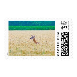 USA, Kansas, White Tail Doe Crossing Wheat Postage