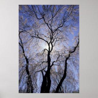 USA, Kentucky, Lexington. Backlit tree and Print