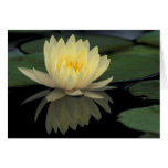 USA, Kentucky, Louisville Domestic water lily, Card