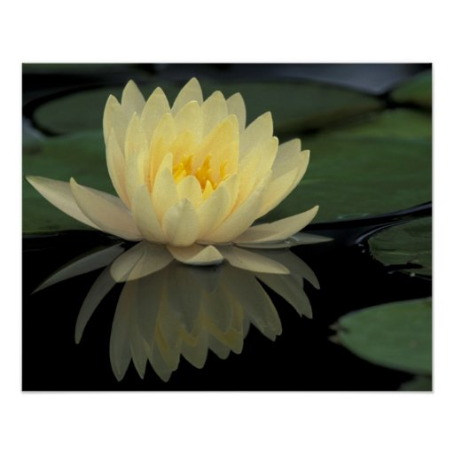 USA, Kentucky, Louisville Domestic water lily, Poster