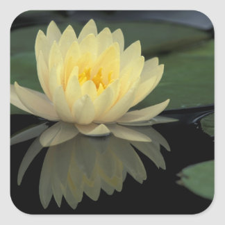 USA, Kentucky, Louisville Domestic water lily, Square Sticker