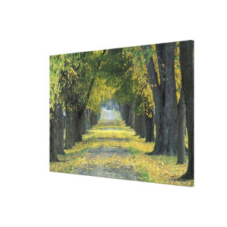 USA, Kentucky, Louisville. Tree-lined road in Canvas Print