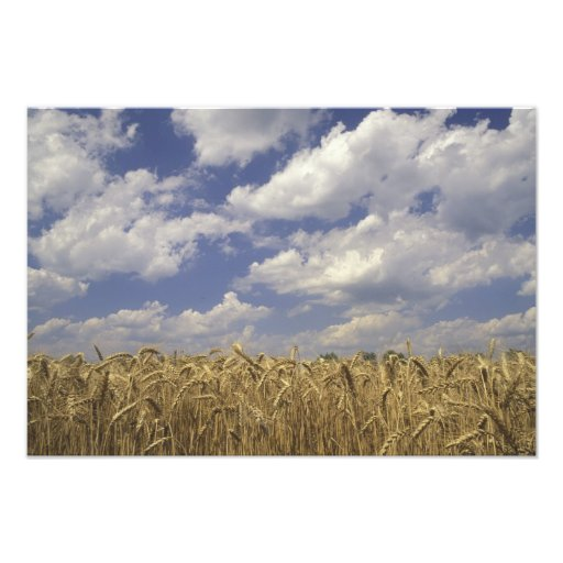 USA, Kentucky, Louisville. Wheat crop and Photo Print