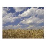 USA, Kentucky, Louisville. Wheat crop and Postcard