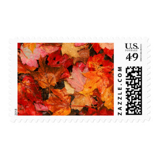 USA, Maine. Autumn maple leaves Stamp