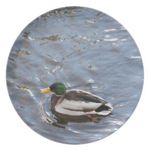 USA, Maine, Camden, Mallard Duck on lake Plate