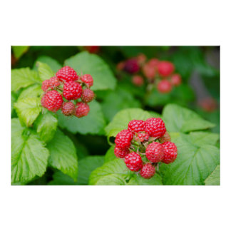 USA, Massachusetts, Nantucket. Ripe Raspberries Poster