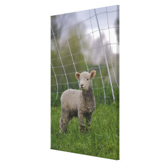 USA, Massachusetts, Shelburne. A lamb with Canvas Print