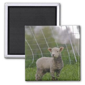 USA, Massachusetts, Shelburne. A lamb with Magnet