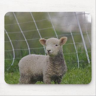 USA, Massachusetts, Shelburne. A lamb with Mouse Pad