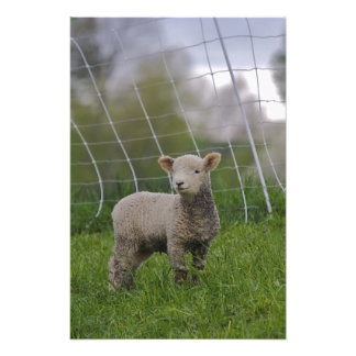 USA, Massachusetts, Shelburne. A lamb with Photo Print