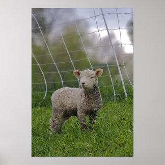USA, Massachusetts, Shelburne. A lamb with Print