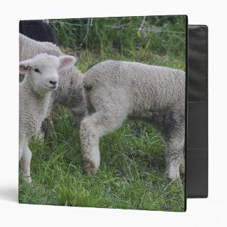 USA, Massachusetts, Shelburne. Lambs walk and Binder