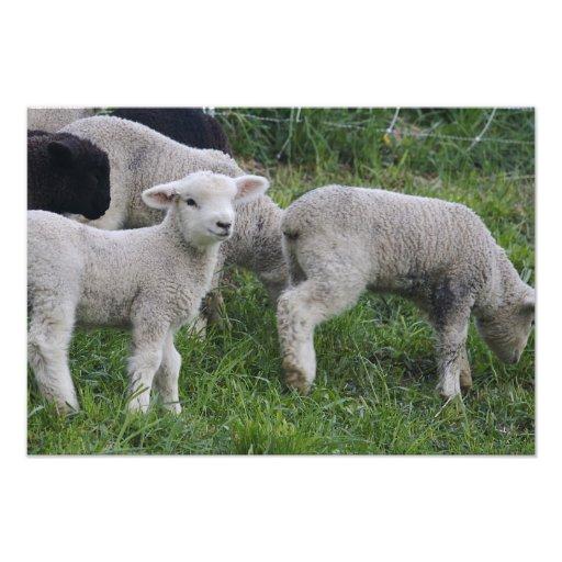 USA, Massachusetts, Shelburne. Lambs walk and Photographic Print