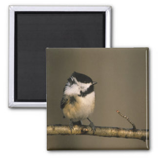 USA, Michigan. Black-capped chickadee perched Magnet