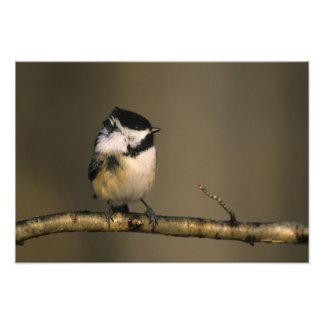 USA, Michigan. Black-capped chickadee perched Photographic Print