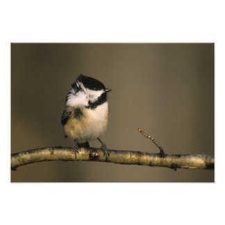 USA, Michigan. Black-capped chickadee perched Photo