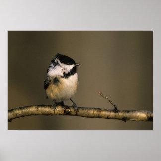 USA, Michigan. Black-capped chickadee perched Poster