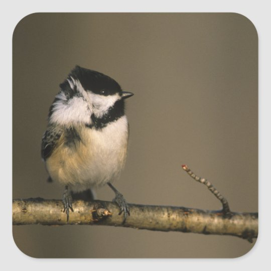 USA, Michigan. Black-capped chickadee perched Square Sticker