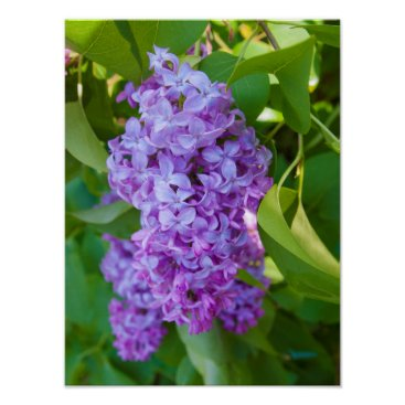USA Themed USA, Michigan. Blooming French Lilac Poster
