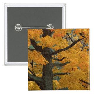 USA, Michigan, Close-up of sugar maple tree in 2 Inch Square Button
