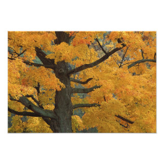USA, Michigan, Close-up of sugar maple tree in Art Photo