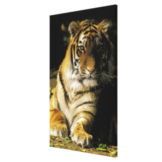 USA Michigan Detroit Detroit Zoo tiger 2 Gallery Wrapped Canvas