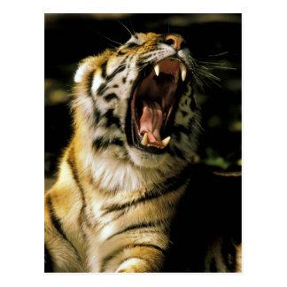 USA, Michigan, Detroit. Detroit Zoo, tiger 2 Postcard