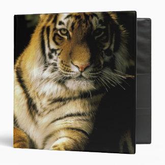 USA, Michigan, Detroit. Detroit Zoo, tiger 3 Binders