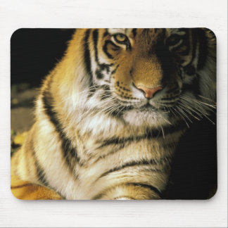 USA, Michigan, Detroit. Detroit Zoo, tiger 3 Mouse Pad