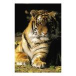 USA, Michigan, Detroit. Detroit Zoo, tiger 3 Photo Print