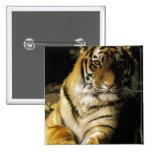 USA, Michigan, Detroit. Detroit Zoo, tiger 3 Pin