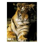 USA, Michigan, Detroit. Detroit Zoo, tiger 3 Postcard