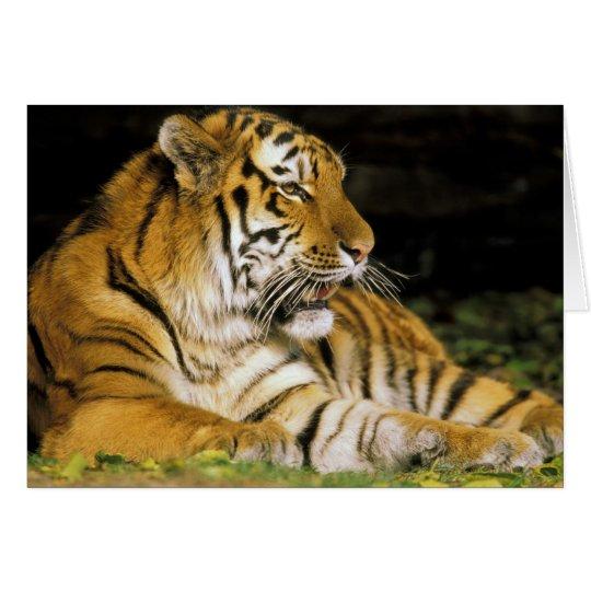 USA, Michigan, Detroit. Detroit Zoo, tiger at Card